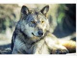 Альфа (Волчья стая)