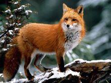 Фото1-Лисица-обыкновенная.jpg