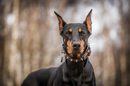 53473-wears-a-collar-around-the-neck-of-the-doberman