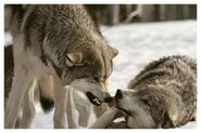 Social-dominance-wolf-pack