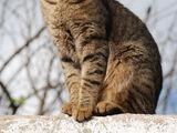 Kot pręgowany