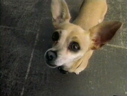 Taco Bell Chihuahua Screenshot