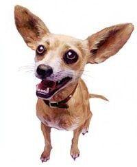 Taco Bell Chihuahua.jpg