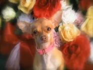 Taco bell dog's girlfriend