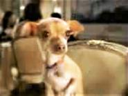 Taco Bell Chihuahua Girlfriend