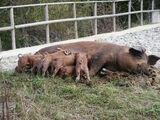豬(注音)