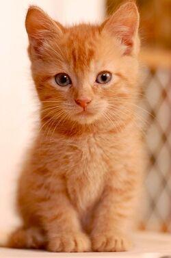 Orangekitten.jpg