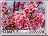 Infinity-cherryblossoms11