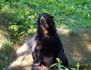 Spectacled Bear 161 (2)