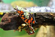 Fire-bellied-toad7
