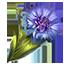 Cornflower.png