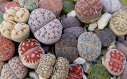 Lithops rock plants