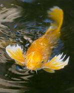 Koi-carp-fish