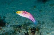 Scientists-name-Zanzibar-reef-fish-after-Black-Panthers-homeland