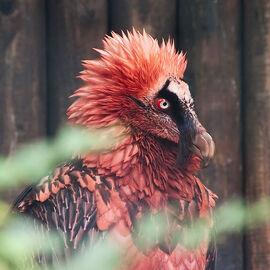 Vulturedragonnid.jpg