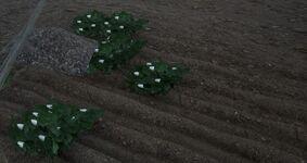 Planted cotton seeds.jpg