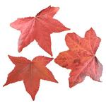Maple Leaf.png