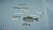 Fish-big fisf