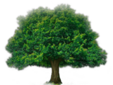 Elderly Tree