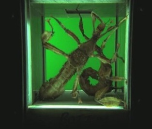 Giant Spiny Leaf Insect