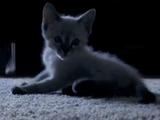 Kitten Shepard