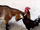 The Cock and Goat