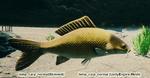 Fish Carp Normal.png