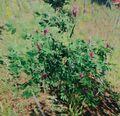 Bush flowering.jpg