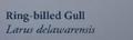 Red-billedGullNaturesGuide.png