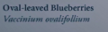Oval-leavedBlueberriesNaturesGuide.png
