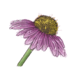NatureGuideConeflower.png