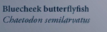 BlueCheekButterflyfishNaturesGuide.png
