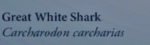 GreatWhiteSharkNaturesGuide.png