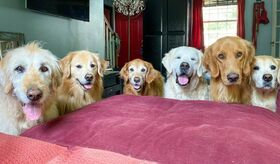 One Labradoodle and five Golden Retrievers standing in one row in a living room, in front of a red couch.