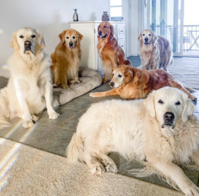 Six Golden Retrievers together in a well-lit living and dining area. The dogs hold mixed positions, from standing to sitting to lying down.