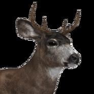 Sitka deer male common