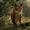 Mexican Bobcat