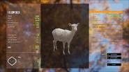Albino Female Fallow Deer