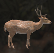Axis Deer Common