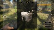 White Brown Feral Goat (Male)