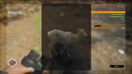 Melanistic Female Roosevelt Elk