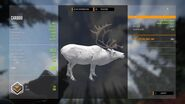 Leucistic Caribou