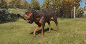 Bloodhound male black and tan fullcoat