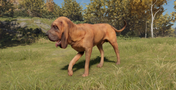 Bloodhound male red and black pigmented