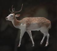 Axis Deer Piebald