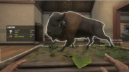 Common Plains Bison