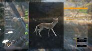 Piebald Male Coyote