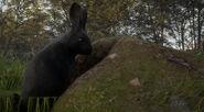 Melanstic european rabbit