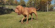 Bloodhound male red and liver pigmented