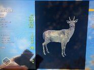 Darker Common Fur Variant Fallow Deer